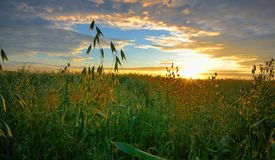 Oats field in sunrise Royalty Free Stock Photography