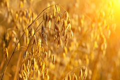 Oats field at sunset Royalty Free Stock Images