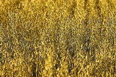 Oats field Royalty Free Stock Image