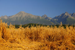 Oats field under mountains Royalty Free Stock Photo