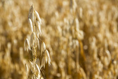 Oats growing in a field Royalty Free Stock Photos