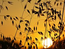 Oats growing in a field Stock Photo