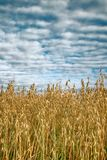 Oats, milk maturity is wall. Will be good harvest royalty free stock photography
