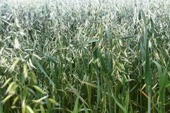 Oats, milk maturity is wall. Will be good harvest stock photos