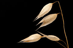 Oats. Oat on a black background Royalty Free Stock Photo
