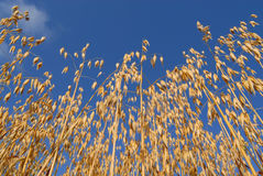 Oats in the sky Stock Images