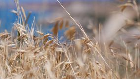 Oats spikelets on the background of the blue sea. Oats spikelets on the background of the sea Stock Photo