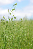 Oats spikes in the Spring Royalty Free Stock Photo