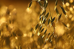 Oats at sunset texture. Yellow oats at sunset texture stock images