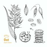 Oats vector hand drawn illustration Royalty Free Stock Image
