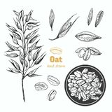 Oats vector hand drawn illustration Stock Photos