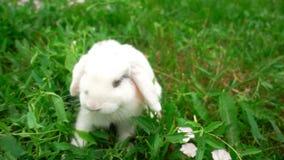 Oavbrutet tjata på grönt gräs, liten kanin för vit kanin, den lilla vita kaninen, ultrarapid stock video
