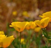 Oavkortad bang för Eschscholzia californicablomma Arkivbild