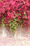 Oavkortad blom för färgrik bougainvillea på betong- och tegelstenväggen Royaltyfri Bild