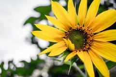 Oavkortad blom för gul solros framme av blå himmel royaltyfria bilder