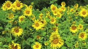 Oavkortad blom för gula solrosor i Juli arkivfilmer