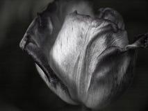 Oavkortad blom för härlig tulpan under våren Svartvit bild royaltyfri fotografi