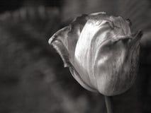 Oavkortad blom för härlig tulpan under våren Svartvit bild royaltyfria bilder