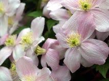 Oavkortad blom för klematis Royaltyfri Foto