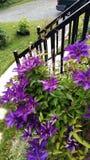 Oavkortad blom för klematis Fotografering för Bildbyråer