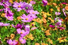 Oavkortad blom för kosmosblomma royaltyfria foton