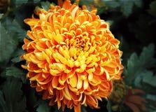 Oavkortad blom för krysantemum royaltyfria foton
