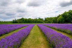 Oavkortad blom för lavendelblommor i Door County Wisconsin royaltyfria bilder