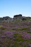 Oavkortad blom för ljung, Stanage kant, maximalt område, Derbyshire Royaltyfria Bilder