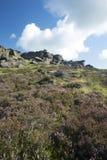Oavkortad blom för ljung, Stanage kant, maximalt område, Derbyshire Arkivfoto