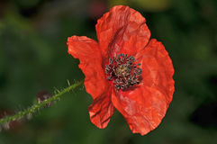Oavkortad blom för ljus röd vallmo mycket av frö Royaltyfri Bild