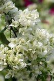 Oavkortad blom för nätt vit färgrik bougainvillea Fotografering för Bildbyråer