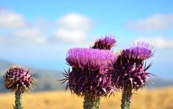 Oavkortad blom för Onopordumcarduelium, Gran canaria Royaltyfria Bilder