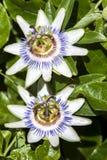 Oavkortad blom för Passionfruit blommor i början av sommar i Australien Royaltyfri Foto