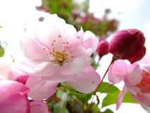 Oavkortad blom för rosa körsbärsröd blomning. Arkivbild