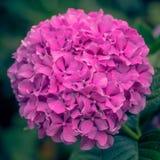 Oavkortad blom för rosa vanlig hortensiahuvud arkivbild