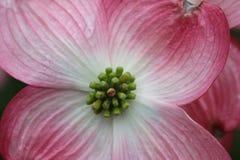 Oavkortad blom 1 för skogskornell royaltyfria foton