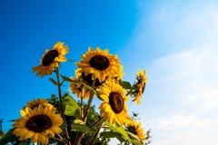 Oavkortad blom för solros i fält av solrosor på en solig dag fotografering för bildbyråer