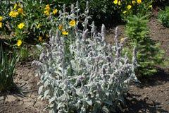 Oavkortad blom för Stachysbyzantina arkivfoton