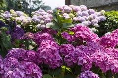 Oavkortad blom för vanlig hortensiabuske royaltyfria bilder