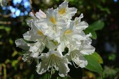 Oavkortad blom för vit rhododendron, härlig vårmall royaltyfri bild