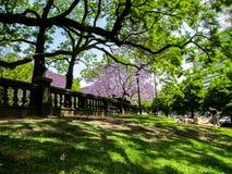 Oavkortad blom 2011 för Buenos Aires Argentina jakarandaträd på den plazasan svalan Royaltyfri Foto