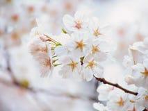 Oavkortad blom Yoshino för körsbärsrött träd Royaltyfria Bilder