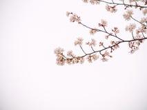 Oavkortad blom Yoshino för körsbärsrött träd i himlen tillbaka Royaltyfria Foton