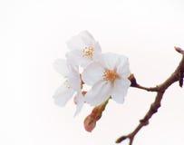 Oavkortad blom Yoshino för körsbärsrött träd i himmelbakgrunden Royaltyfri Fotografi