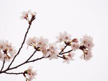 Oavkortad blom Yoshino för körsbärsrött träd i himmelbakgrunden Royaltyfri Bild