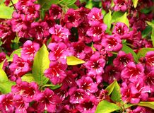 Oavkortad blomma för Weigelarubidor close upp royaltyfri fotografi