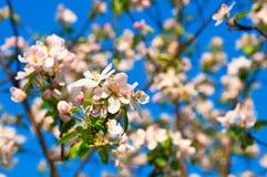 Oavkortad blomning för Apple blommor under vår Royaltyfria Bilder
