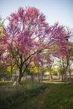 Oavkortad blomning för Cercisträd Arkivfoton