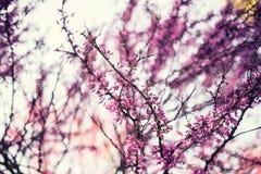 Oavkortad blomning för Cercisträd Royaltyfri Fotografi