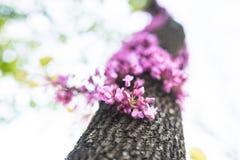 Oavkortad blomning för Cercisträd Arkivbild